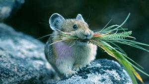 Vì sao khi ăn phải bả chuột lại chết gần nguồn nước